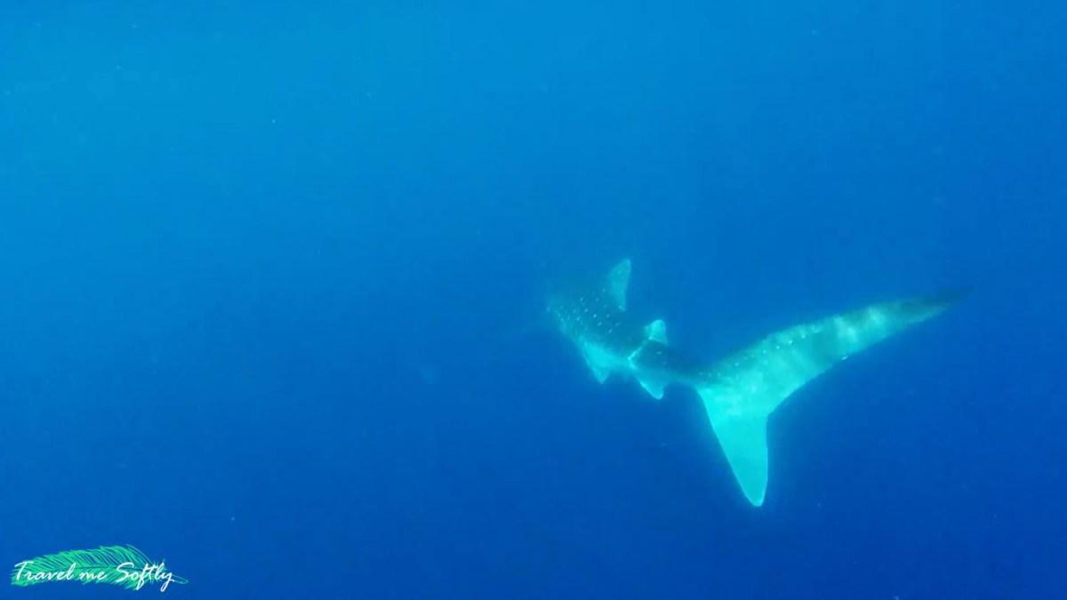 Nadando con tiburones ballena en Puerto Princesa