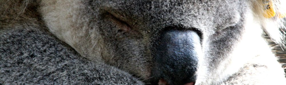 ¿Quieres ver un koala? Visita el hospital de koalas de Port Macquarie