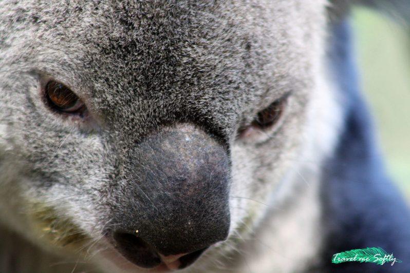Koala Chidlers