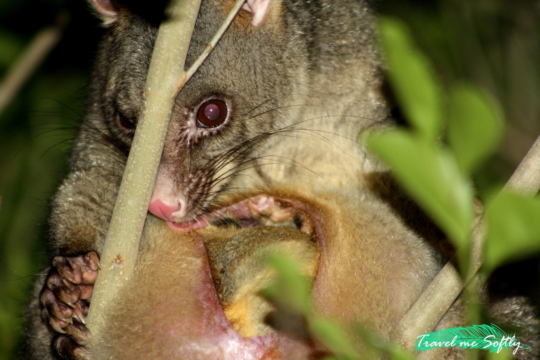 possum closeup