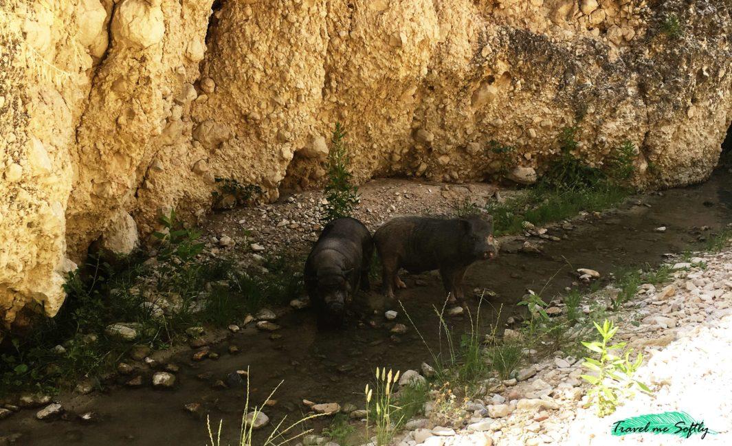 cerdos rambla de Puça