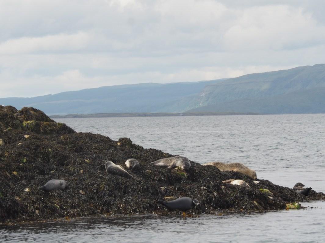 focas de oban animales salvajes