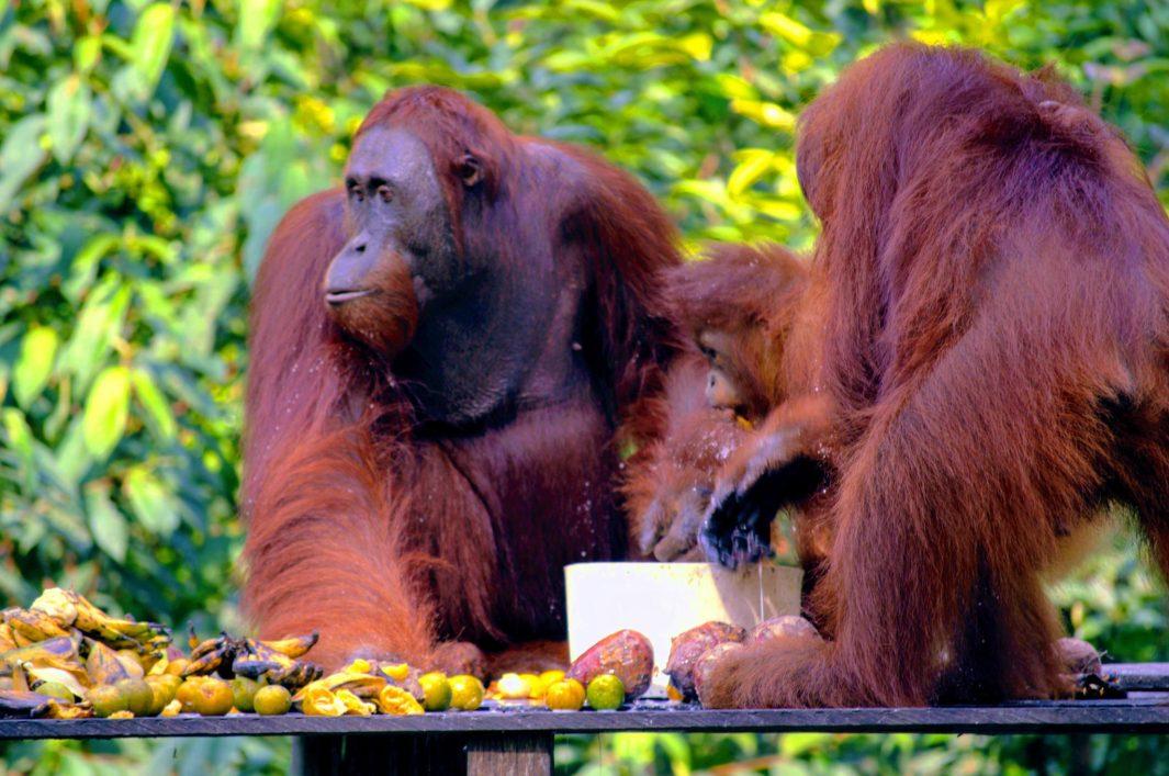 orangutan viajes faunisticos