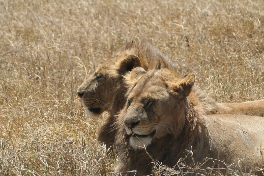 viajar a tanzania leones