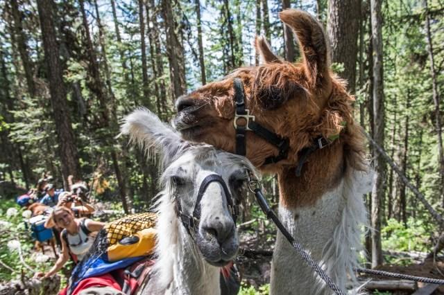 Llama Trekking in Montana