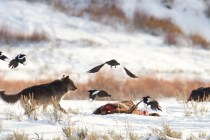How to See Wolves in Yellowstone