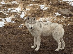 Yellowstone Wolf & Hiking Vacation