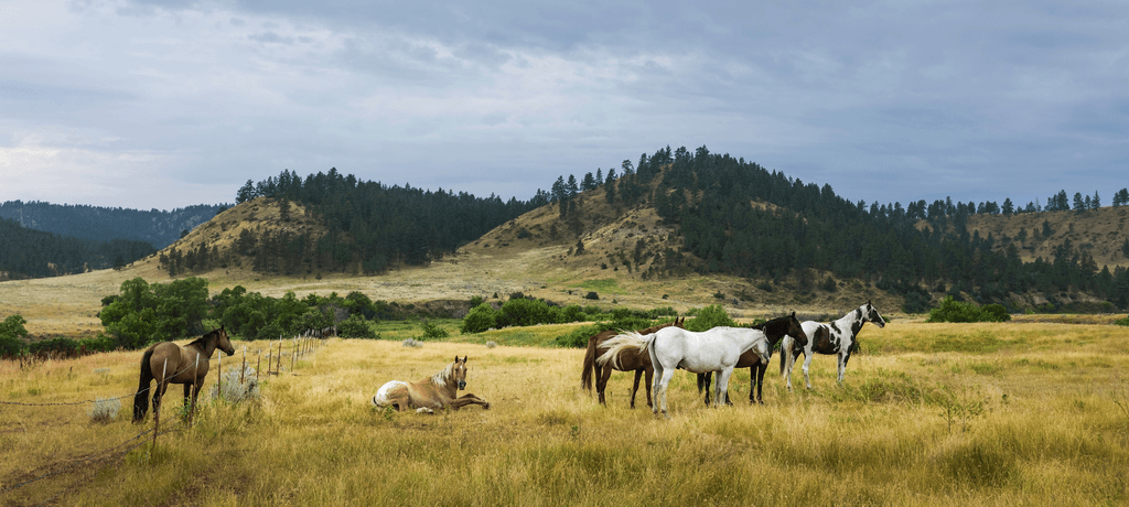 Horses by Montana Mountains