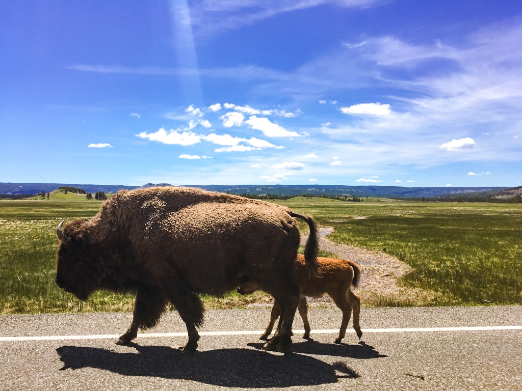 Mother and Baby Bison in Yellowstone National Park