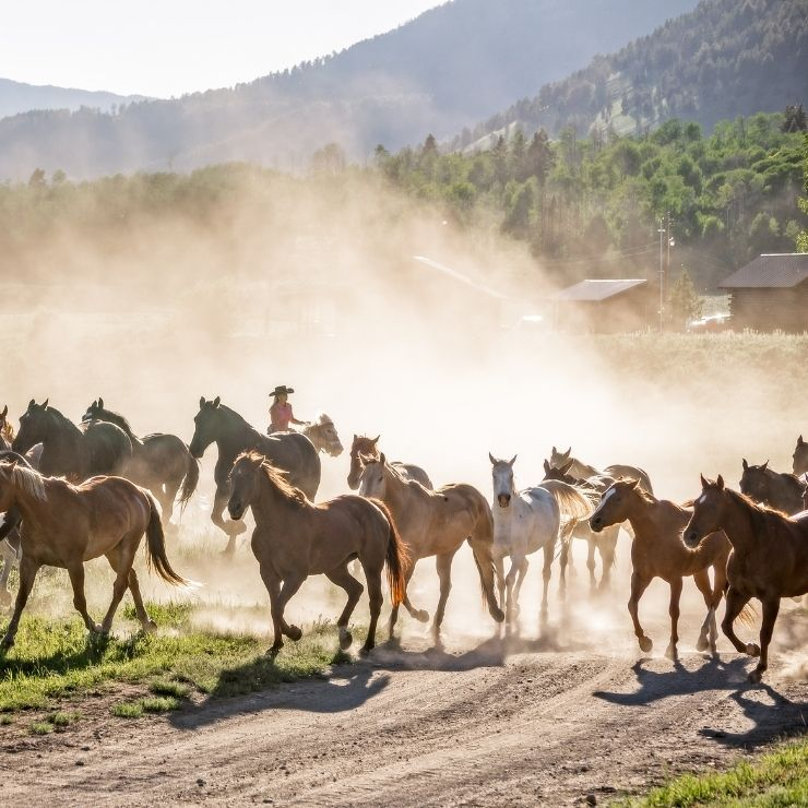 Take a vacation to a Montana dude ranch and you might see a scene like this of horses running through a dusty field with a cowboy behind them.