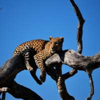 Leopard Encounter @ Kalhatty