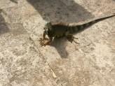 resident iguana who sunbathes by the pool