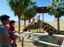living desert giraffe feeding 1 travelnerdplans