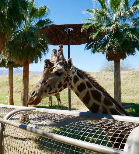 living desert giraffe says hello travelnerdplans