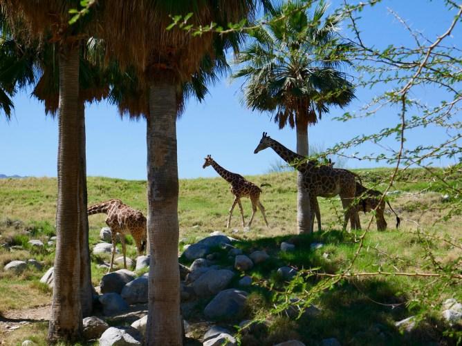 living desert giraffes travelnerdplans