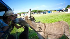 st kitts donkey kissing travelnerdplans