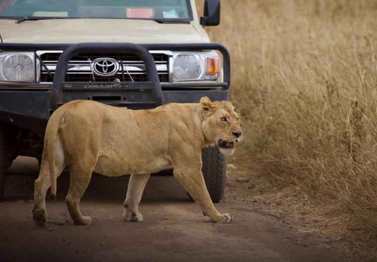 choose-african-safari-lion1