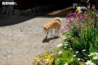 可愛的秋田犬也出來曬太陽。