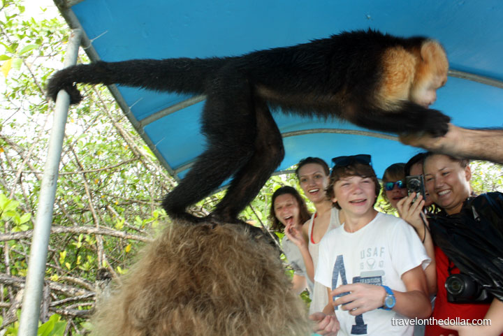 Monkeys stand on top of head to eat bananas