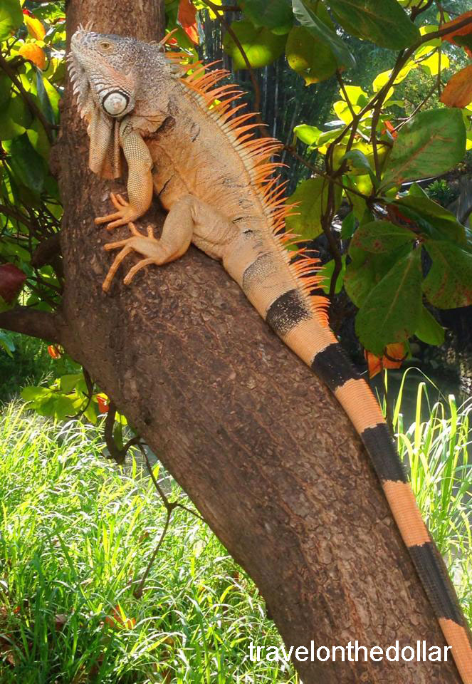 Iguana sitting on a tree in Puerto Vallarta, Mexico