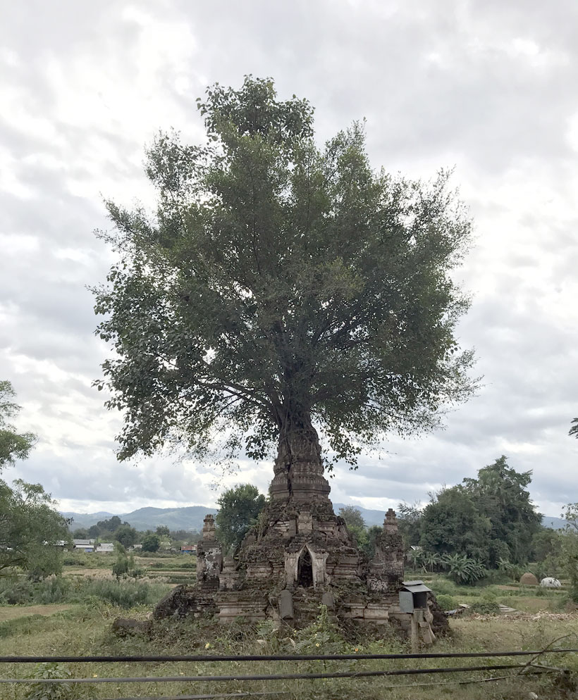 Tree growing from top of Pagoda