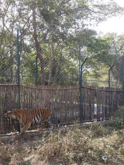 Tiger in confined territory :P