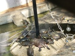 Lots of tortoises basking :D