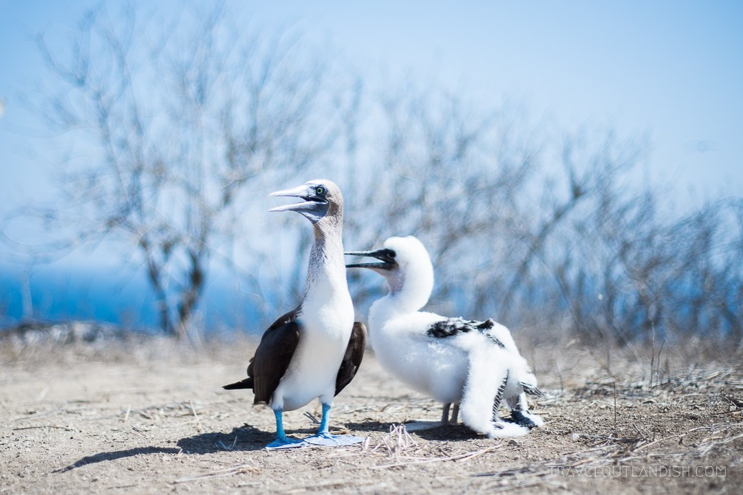 Galapagos Alternative - Blue Footed Boobies on Isla de La Plata