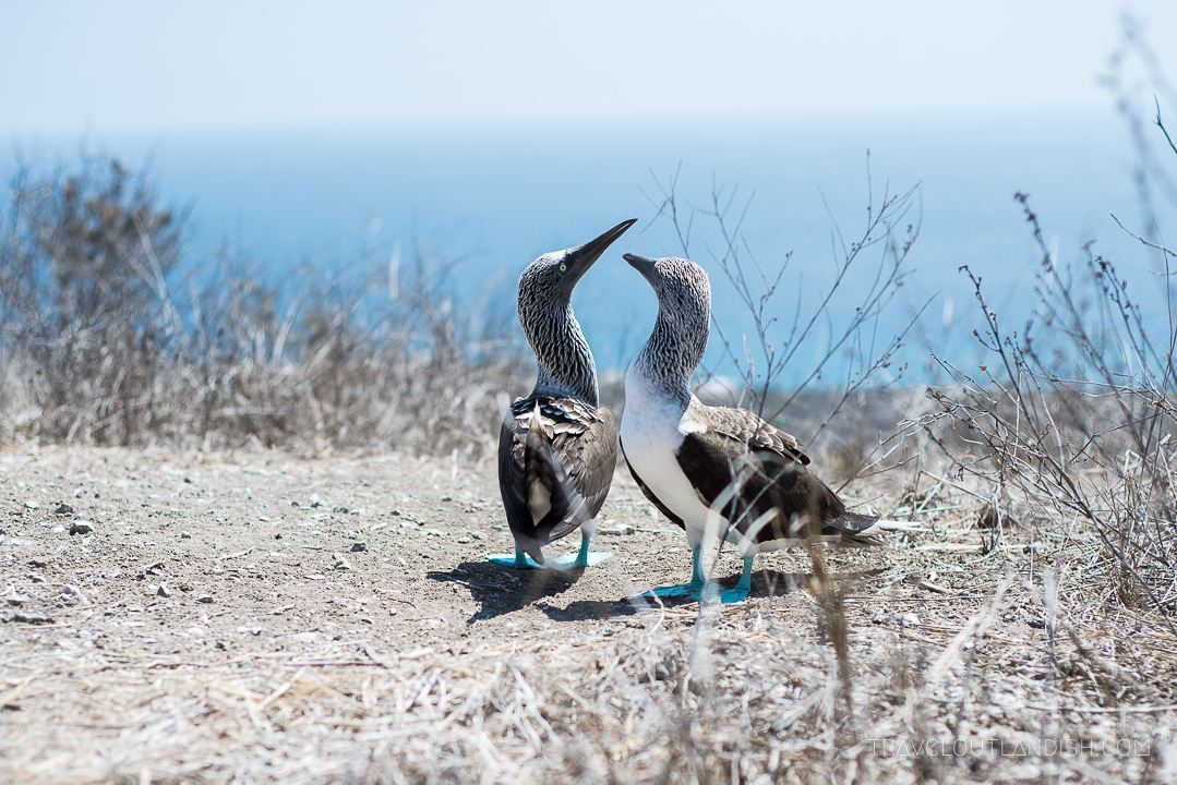 Galapagos Alternative: Checking out the blue footed boobies on Isla de la Plata