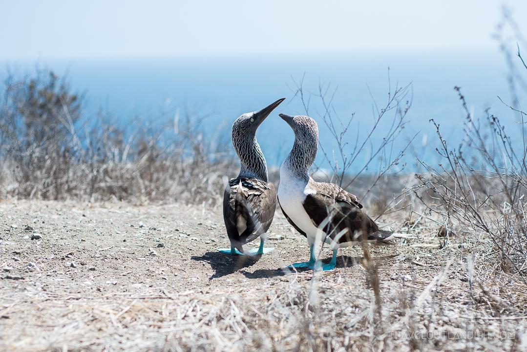 Blue footed boobies on Isla de la Plata