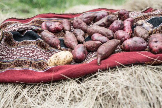 A Food Experience in Peru - Potatoes for the Pachamanca
