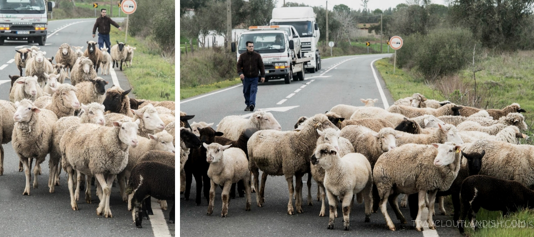 Photos of Portugal - Sheep in Traffic