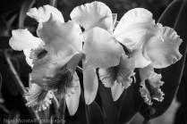 Hilo Orchid Show 2013 (26)-2