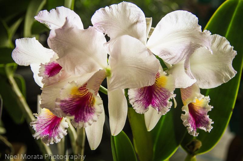 Hilo Orchid Show 2013 (26)