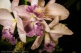 Hilo Orchid Show 2013 (44)