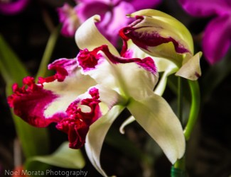 Frilly white and purple cattleya var.