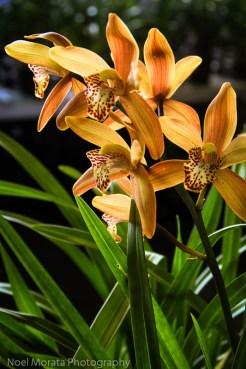 Orange glowing cymbidium orchids