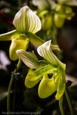 Gorgeous neon green and white Phaps