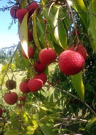 Lychee fruit, Tropical fruit from Hawaii
