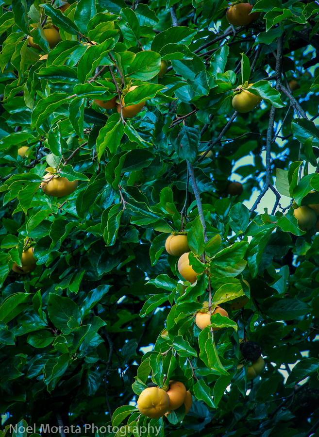Persimmons ready for the taking