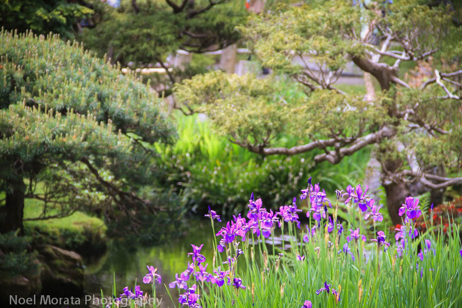 Iris blooms at the Japanese tea gardens