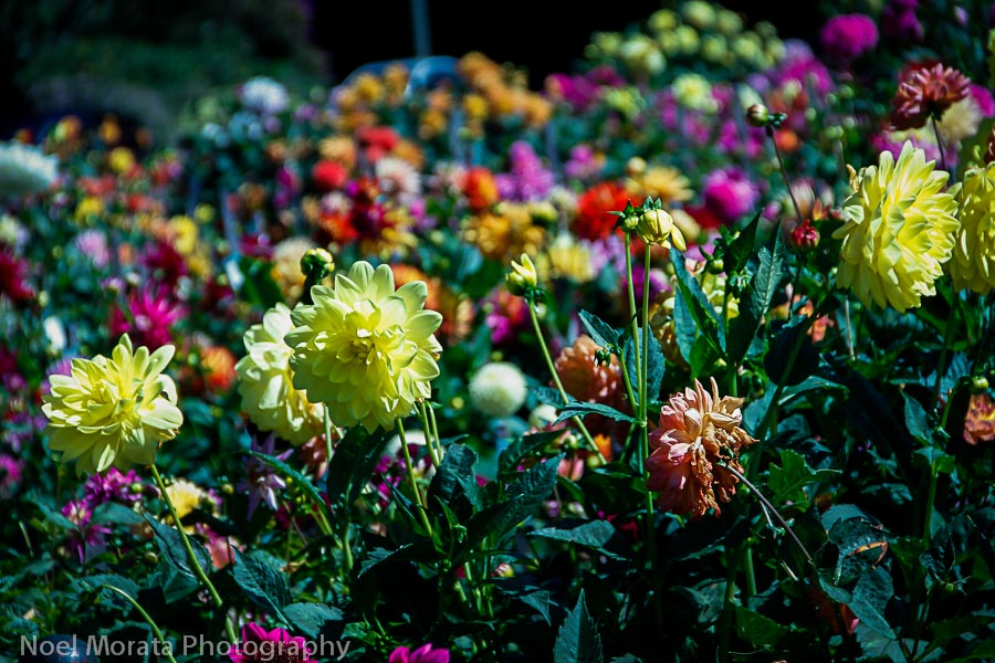 Dahlia Dell at Golden Gate Park