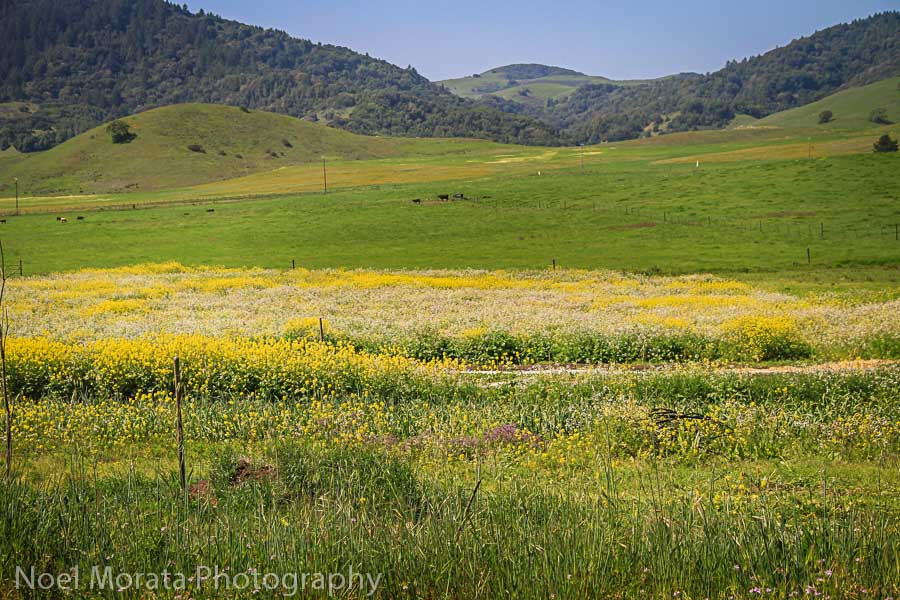 Wildflowers blooming in West Sonoma County