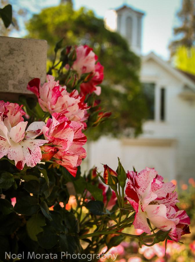 Luther Burbank Gardens, the rose garden