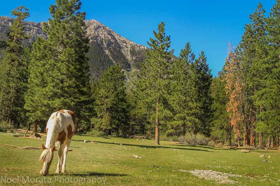 Wild horses at Spring Mountain entrance