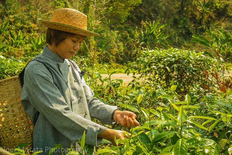 Harvesting ripe tea at Araksa Tea Plantation