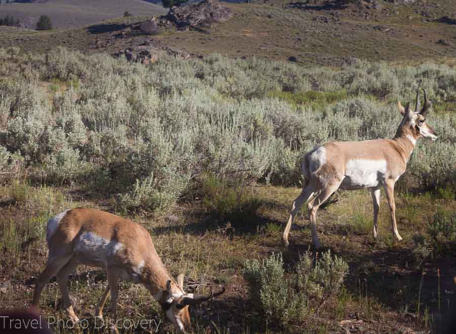 Antelope grazing at Yellowstone National Park