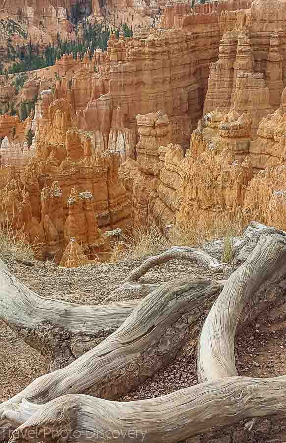 Decaying trees at rim trail Visiting Bryce Canyon National Park