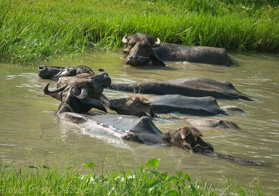 Wild buffalo at Chitwan National Park