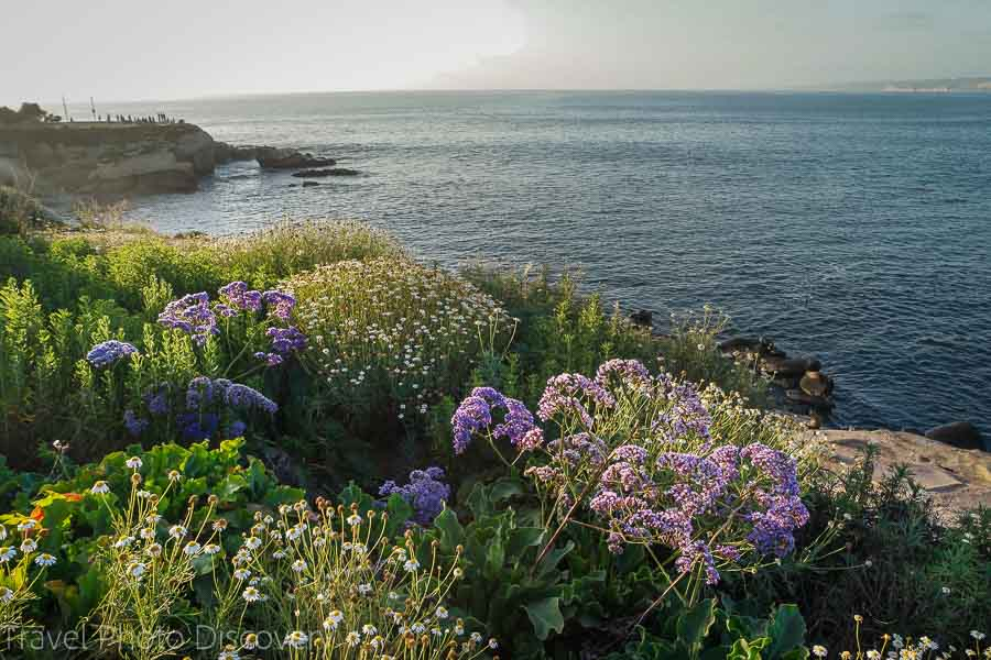 Coastal blooms on the trails in La Jolla